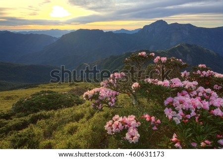 Beautiful sunrise scenery of Hehuan Mountain in central Taiwan in springtime, with view of lovely Alpine Azalea ( Rhododendron ) blossoms on grassy fields and dramatic dawning sky in the background - stock photo