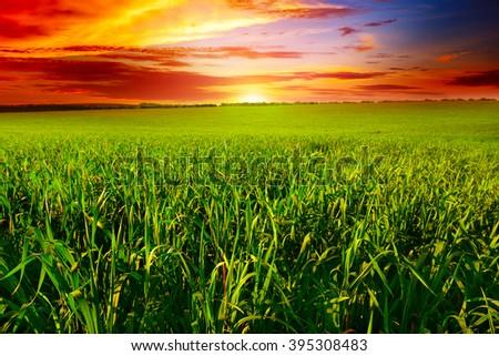 Beautiful sunset on wheat field - stock photo