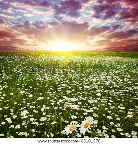 Beautiful sunset over flower field. - stock photo