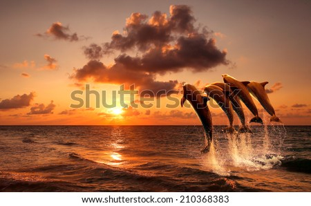 beautiful sunset with dolphins jumping - stock photo