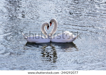 Beautiful swan couple with necks in shape of hearth - stock photo
