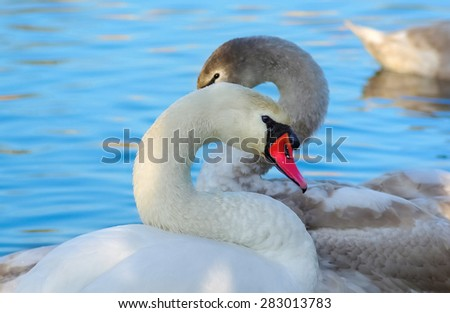 Beautiful swans with long, graceful necks on blue water background close-up - stock photo