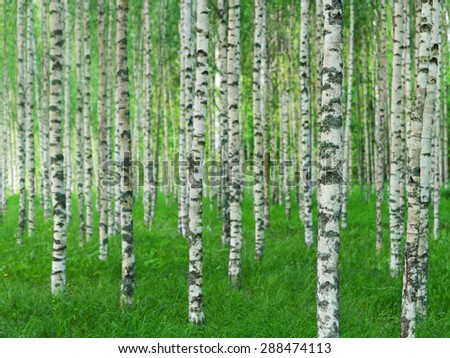 Beautiful Swedish summer landscape with straight birch trees in green grass - stock photo