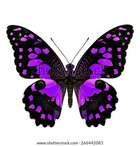 Beautiful sweet purple butterfly, Papilio demoleus Linnaeus in fancy color profile isolated on white background, soft focus - stock photo