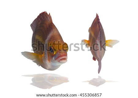 Beautiful swimming fish on white background,tropical fish,coral reef fish,bream fish  - stock photo