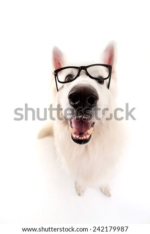 Beautiful Swiss White Shepherd dog posing in studio - stock photo