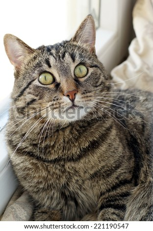 Beautiful tabby cat looking at camera. Cat lying on the windowsill and looking big frightened eyes. - stock photo