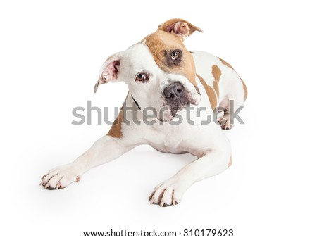 Beautiful tan and white color American Staffordshire Terrier Pit Bull dog laying down and looking forward with head tilted - stock photo