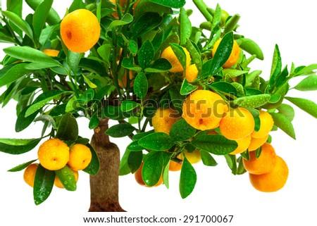 beautiful tangerine tree on a white background - stock photo