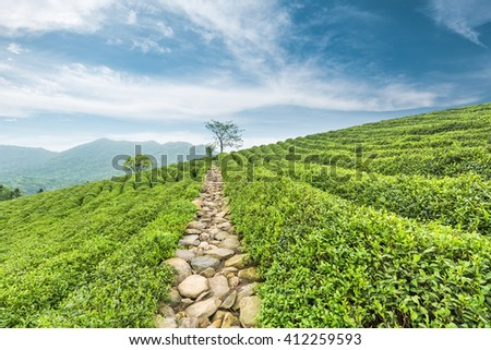 beautiful tea plantations in spring against a blue sky  - stock photo