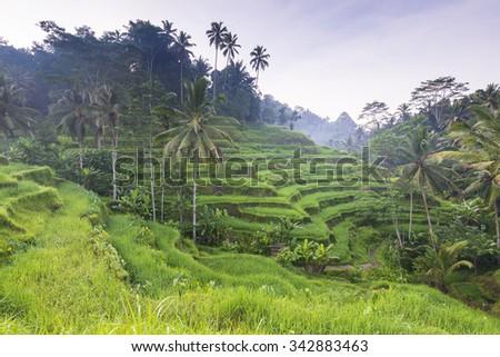 Beautiful terraced rice fields of Bali, Indonesia - stock photo