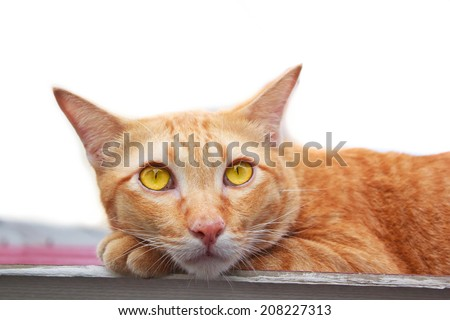 beautiful thai Cat laying on roof portrait. - stock photo