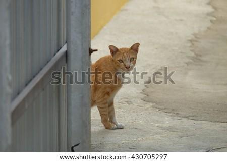 Beautiful Thai yellow cat - stock photo