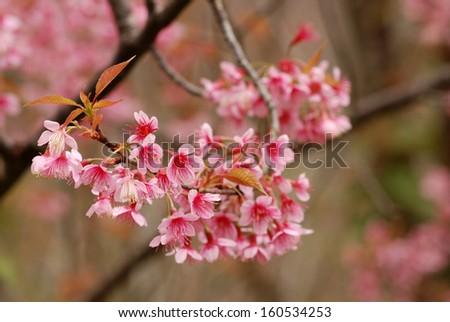 Beautiful thailand�s cherry blossom, Chiang Mai, Thailand - stock photo