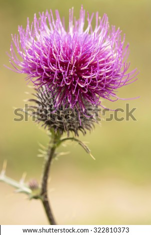 Beautiful thistle purple flower - stock photo