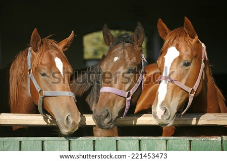 Beautiful thoroughbred horses at the barn door.  Nice thoroughbred foals in the stable door. Purebred chestnut racing horses in the barn. 	 - stock photo