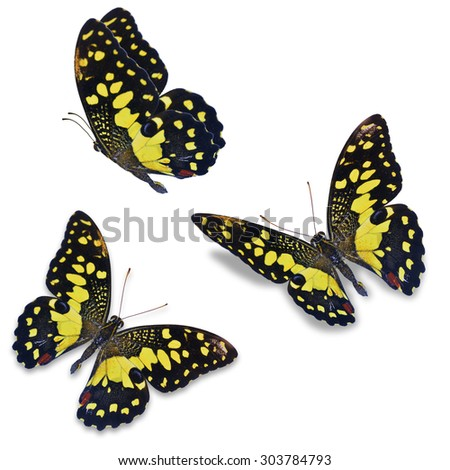 Beautiful three lime butterfly isolated on a white background - stock photo