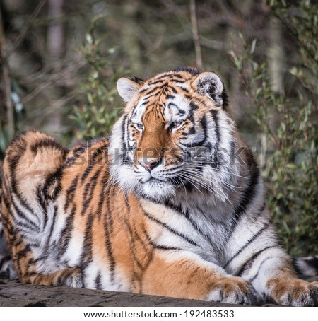 Beautiful tiger at rest in sunshine - stock photo