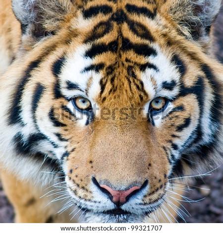 Beautiful tiger cub closeup - stock photo