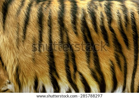 Beautiful tiger fur - close up tiger skin texture - stock photo