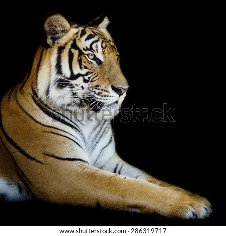 Beautiful tiger - isolated on black background - stock photo