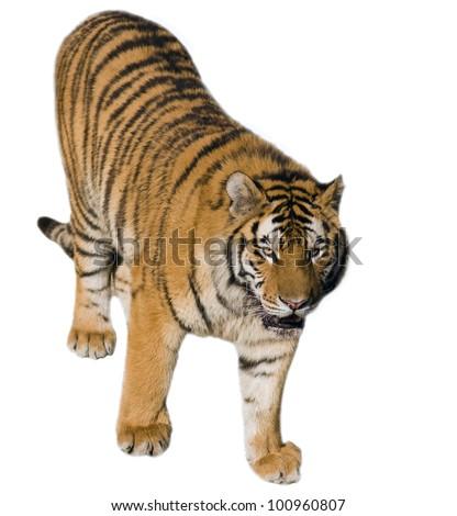Beautiful  tiger - isolated on white background - stock photo