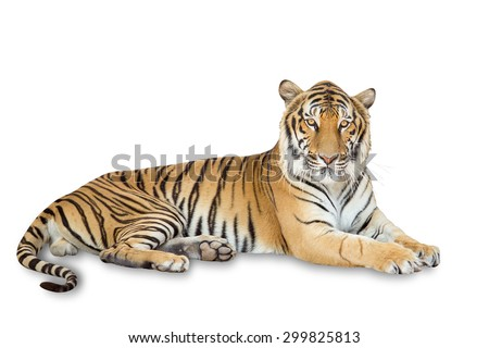Beautiful tiger isolated on white background with clipping path - stock photo