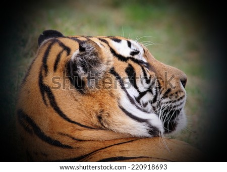 beautiful tiger portrait, close up with vignette - stock photo