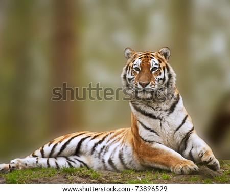 Beautiful tiger sitting upright and alert - stock photo