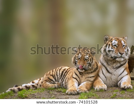 Beautiful tigress relaxing on grassy hill with cub - stock photo