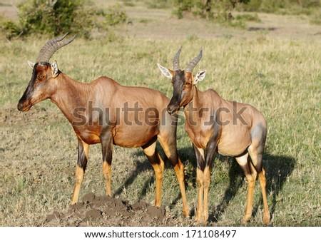 Beautiful topi antelopes in the Masai mara grassland - stock photo