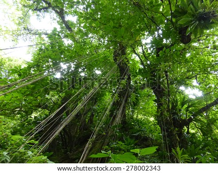 Beautiful tree with vines to the ground. Photograph taken at island of Dominica.  - stock photo