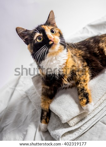 beautiful tricoloured young cat posing, home animal - stock photo