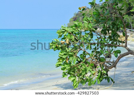Beautiful tropical sunny white sand beach, exotic frangipani tree Plumeria near Tarutao national marine  park and Koh Lipe in Satun, Thailand, Andaman sea coast. Mangrove tree - stock photo