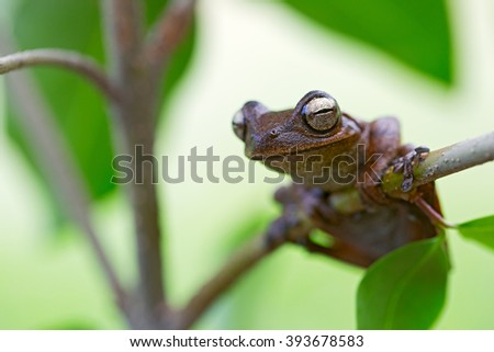 beautiful tropical tree frog in Amazonian rain forest. This amphobian is a treefrog and lives in the Amazon jungle of Peru Brazil, Bolivia and Ecuador. hypsiboas callipleura Bolivia 2016 - stock photo