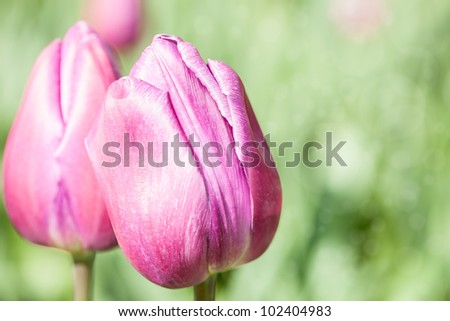 Beautiful Tulip Close up Background with shallow depth of field - stock photo