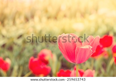 Beautiful tulips blooming in spring garden with blurred background,vintage filtered effect - stock photo