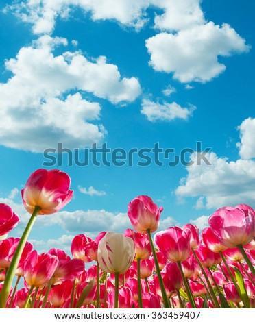 Beautiful tulips field in the Netherlands - stock photo