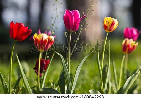 Beautiful tulips in spring - stock photo