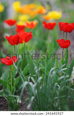 Beautiful tulips in spring time - stock photo
