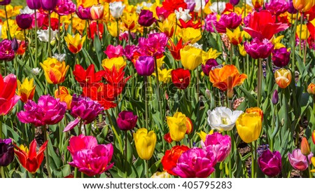 Beautiful tulips in the spring. Bright colors of natural flowers - stock photo