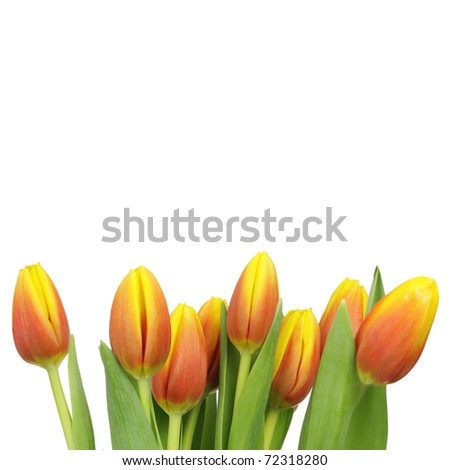 Beautiful tulips with copy space isolated on white - stock photo