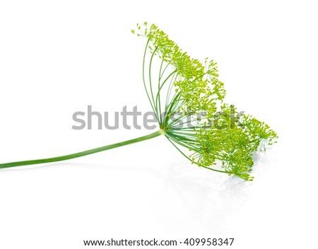 beautiful twig of green umbrella mature dill is isolated on black background, close up - stock photo