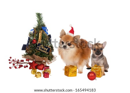 Beautiful two chihuahuas with Christmas decorations on white background - stock photo