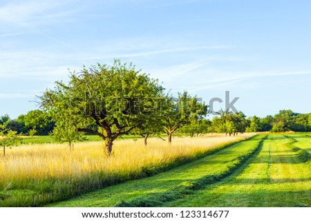 beautiful typical speierling apple tree in meadow for the german drink applewine - stock photo