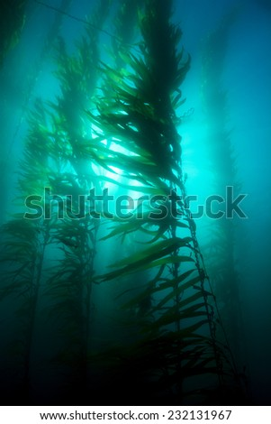 Beautiful underwater kelp forest in clear water shows the sun?s rays penetrating the giant plants. - stock photo