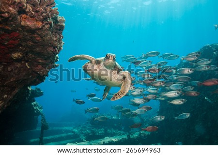 Beautiful underwater scene: A sea turtle swims through a school of red fish as the sun rays filter down through the clear blue ocean in Hawaii.  - stock photo