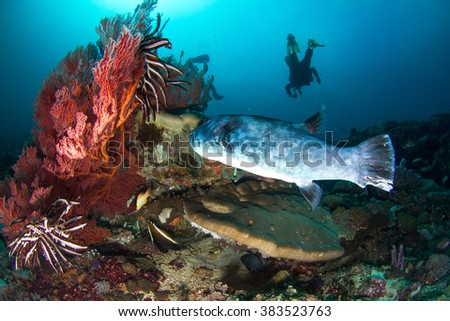 Beautiful underwater view with the pufferfish and silhouette of a diver shallow water. Beautiful healthy reef. Nusa Penida, Indonesia.  - stock photo