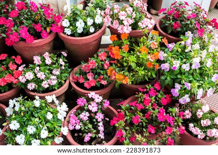 beautiful various blooming multicolored Impatiens flowers in containers, closeup  - stock photo
