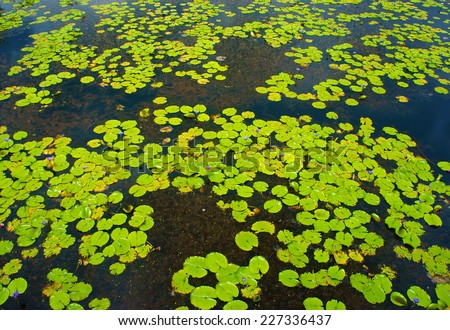Beautiful Vietnam lake, group of water lilly leaf in yellow on water, panorama of amazing lake, violet flower cover on alga, brilliant color on day - stock photo